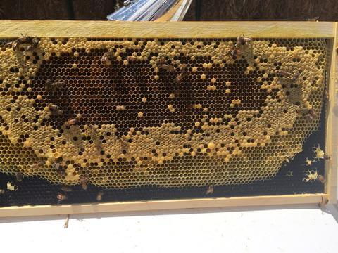 frame of honey bees with spotty brood