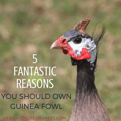 5 Fantastic Reasons You Should Own Guinea Fowl