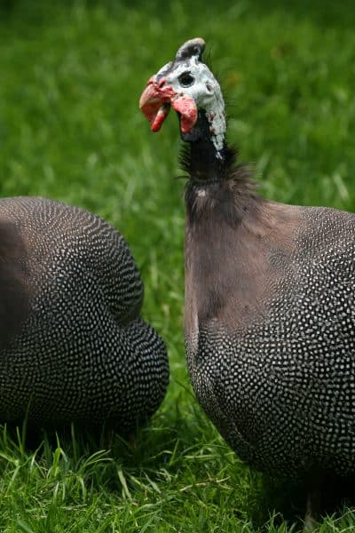 two guinea fowl in green grass