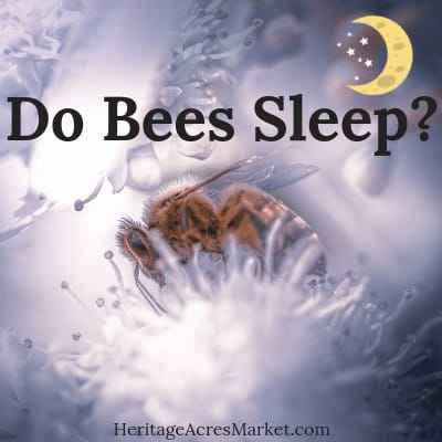 Do Honey Bees Sleep?