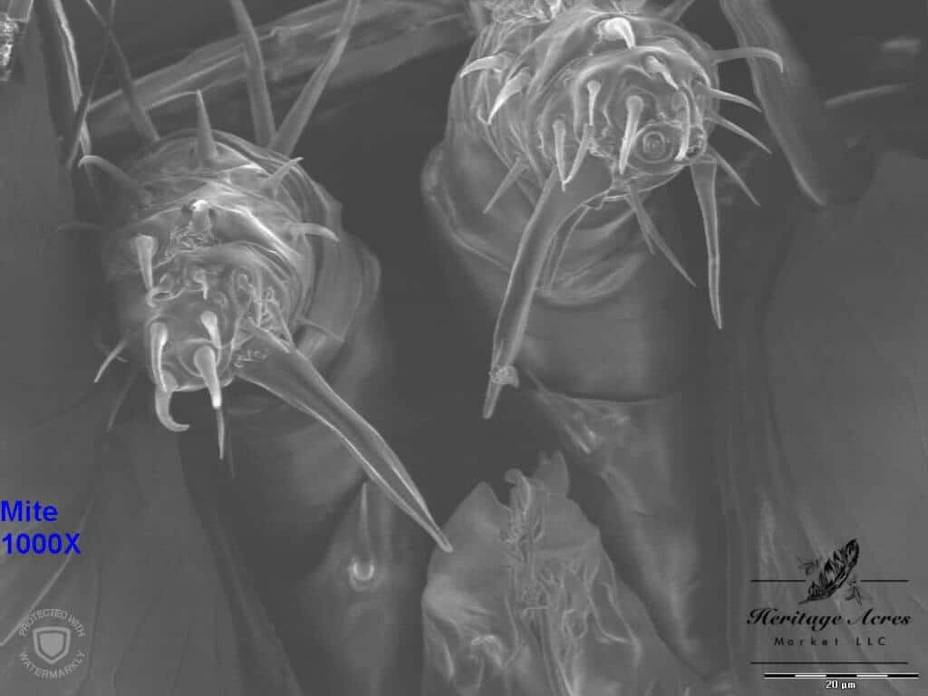 Varroa mite mouth area 1000x magnification