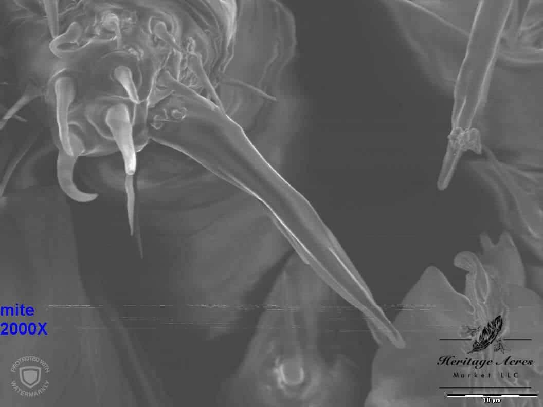 Varroa mite mouth area 2000x magnification