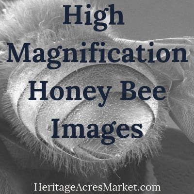 High Magnification Honey Bee Images