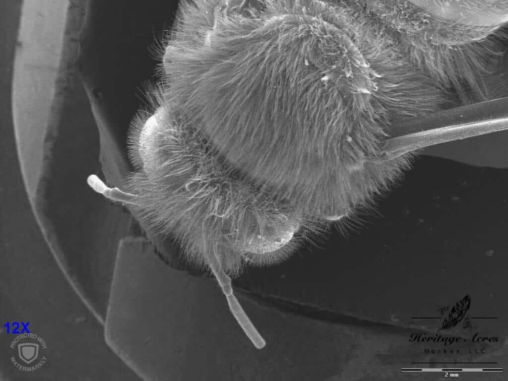 Honey Bee Head 12x magnification