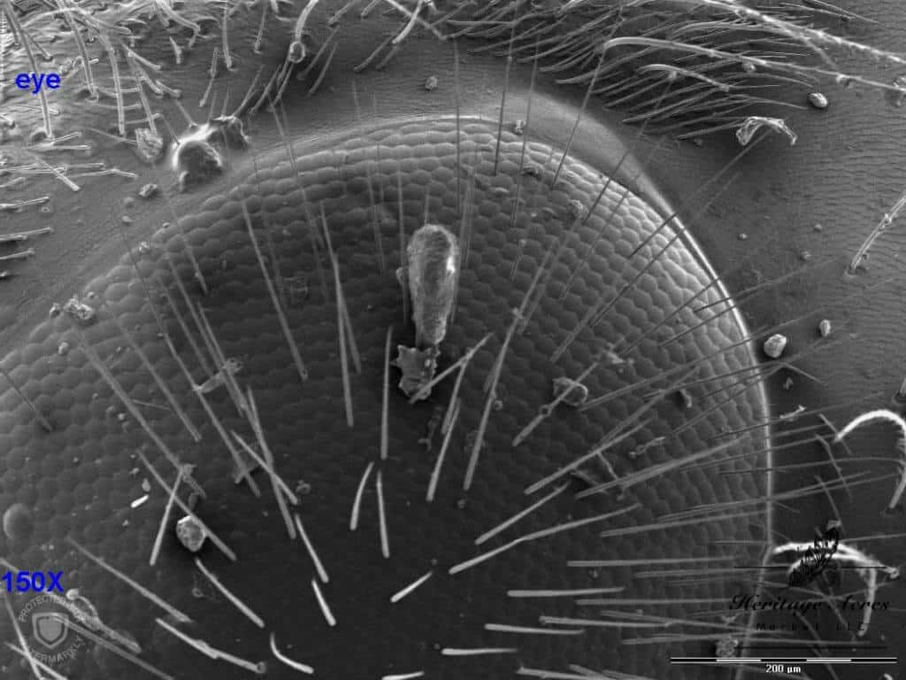 Honey Bee Compound Eye 150x magnification