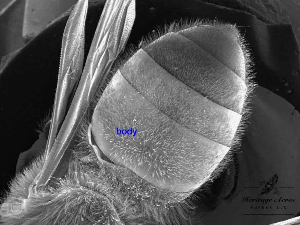 Honey Bee Thorax 12x magnification