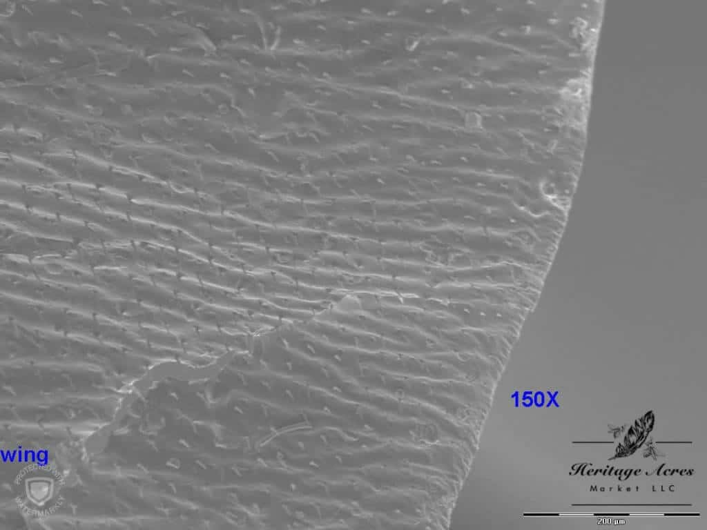 Honey Bee Wing 150x magnification