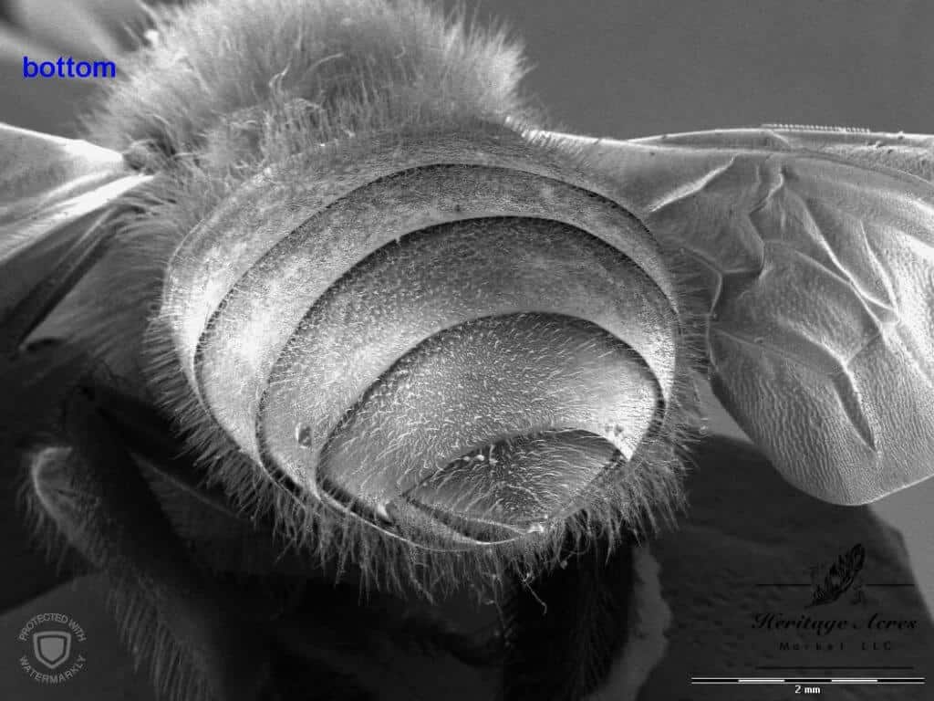 Honey Bee Abdomen 12x magnification