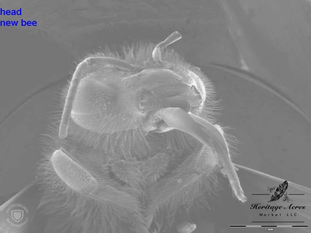 honey bee head high magnification
