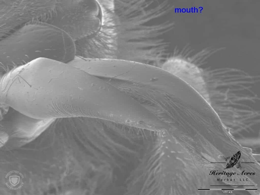 honey bee tongue high magnification