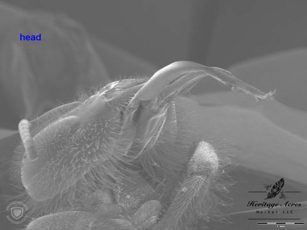 Honey bee head at high magnification