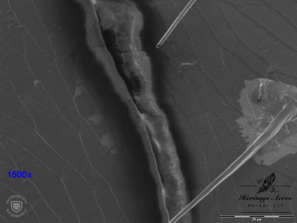 Varroa Mite 1500x magnification