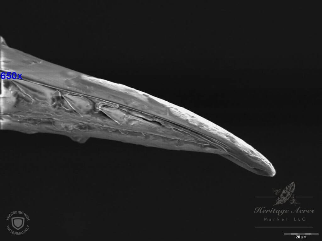 Honey Bee Stinger Barbs & Hollow Tip at 650x magnification