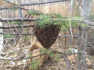 honey bee swarm hanging from pine tree limb