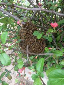 honey bee swarm in bush with green leaves and pink flowers