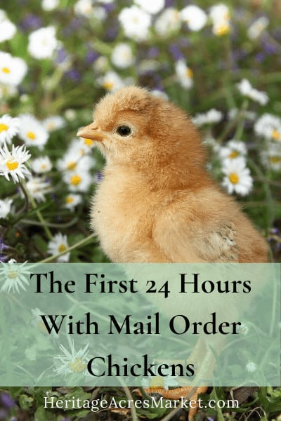 The First 24 Hours With Mail Order Chickens