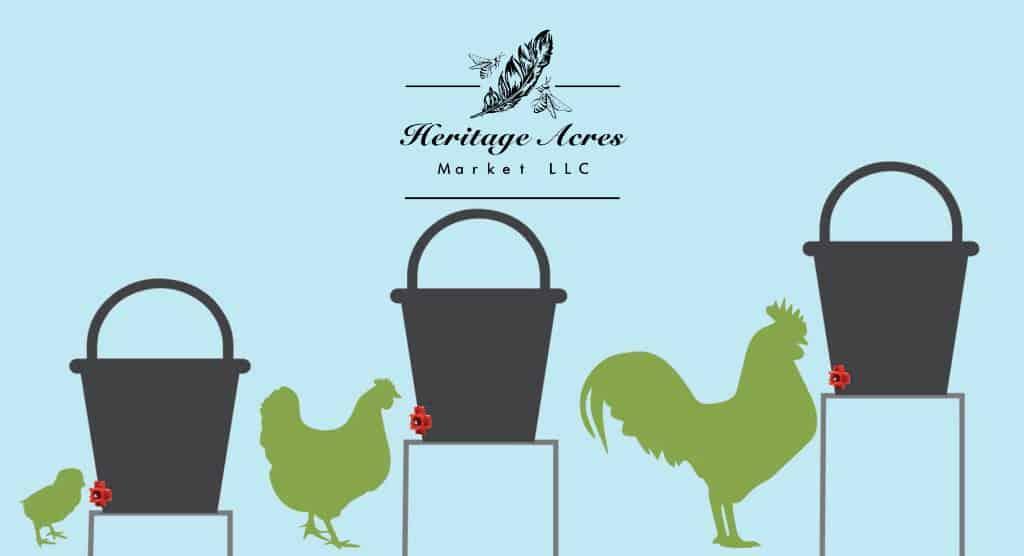 Chickens standing next to nipple watering bucket