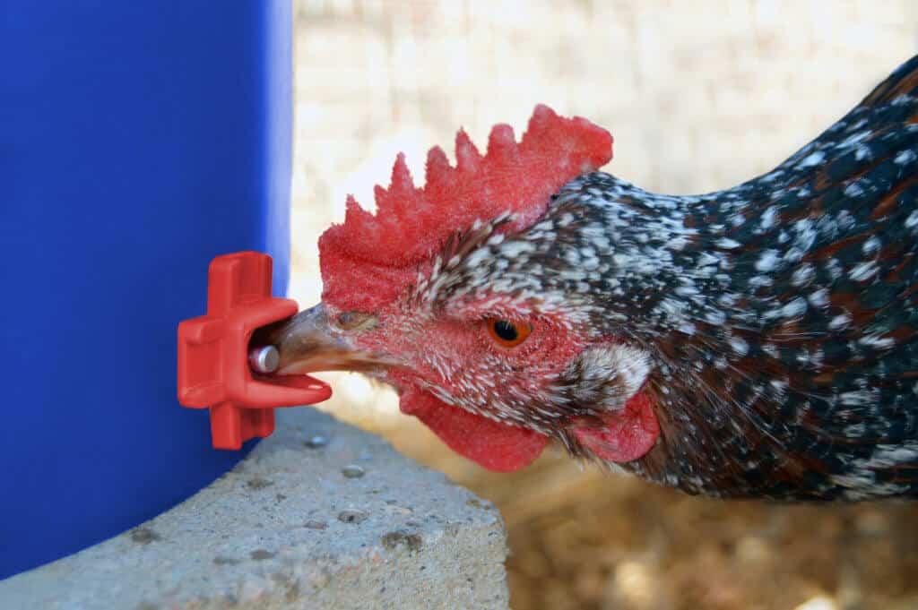 Brown speckled chicken drinking from columbus aqua chicken nipple waterer