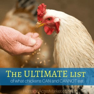 The ULTIMATE list of what chickens CAN and CANNOT eat