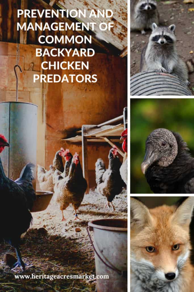 Chickens in barn next to images of raccoon, vulture and fox