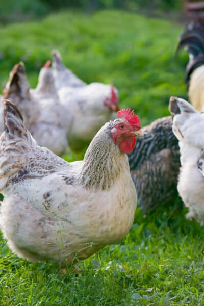 Free Ranging Rooster and Hens