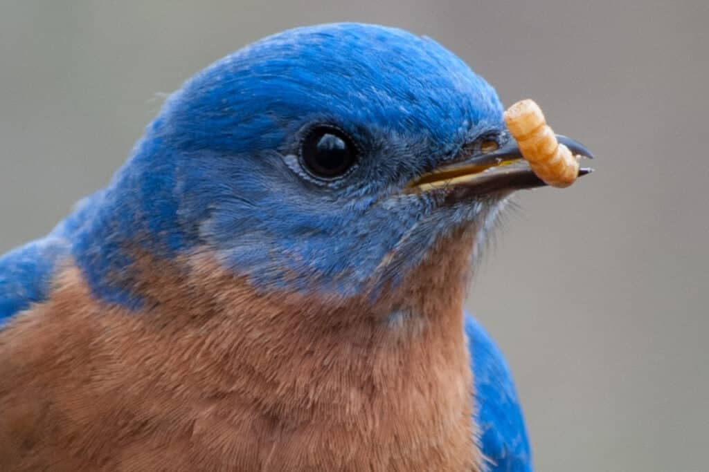 bluebird with mealworm