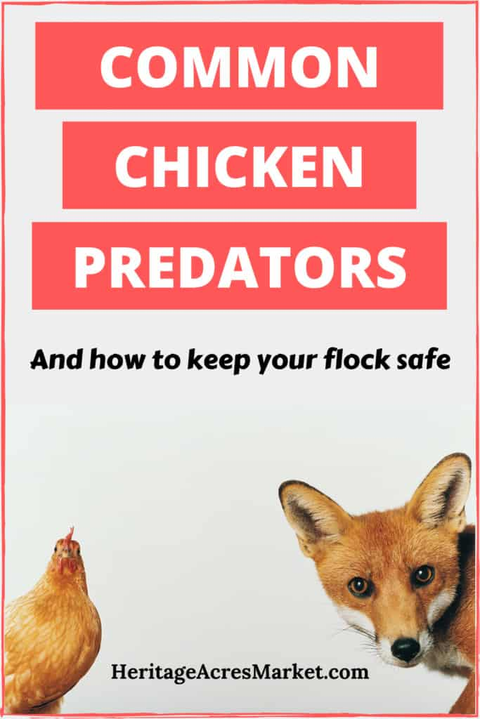 How To Prevent and Manage Common Backyard Chicken Predators 5