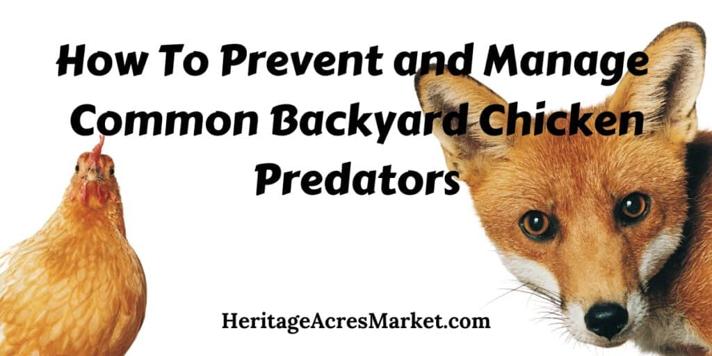 How To Prevent and Manage Common Backyard Chicken Predators 1