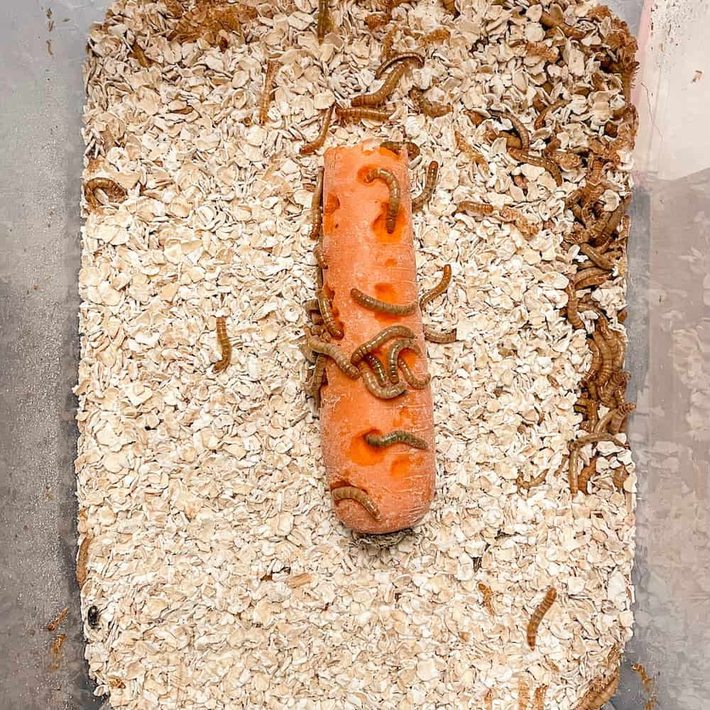 mealworms on carrot