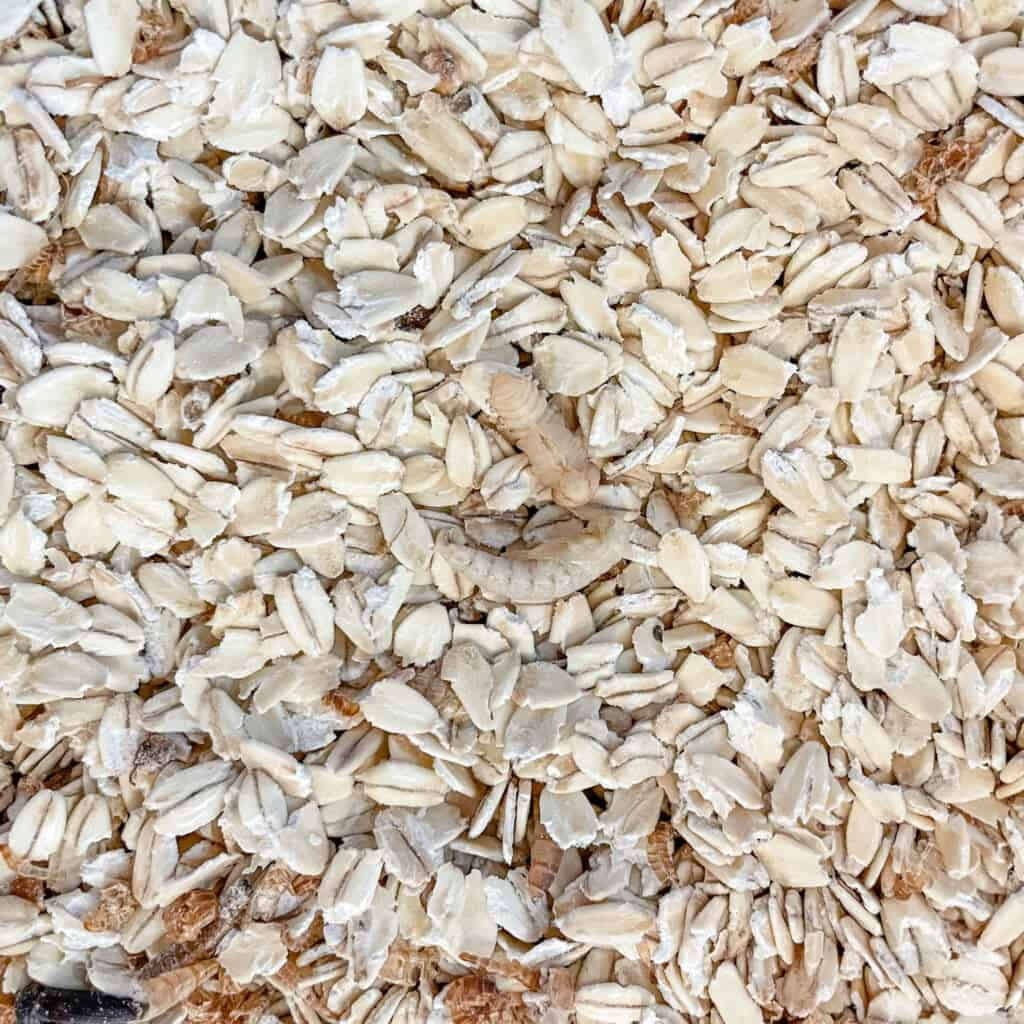 mealworm pupae in oatmeal