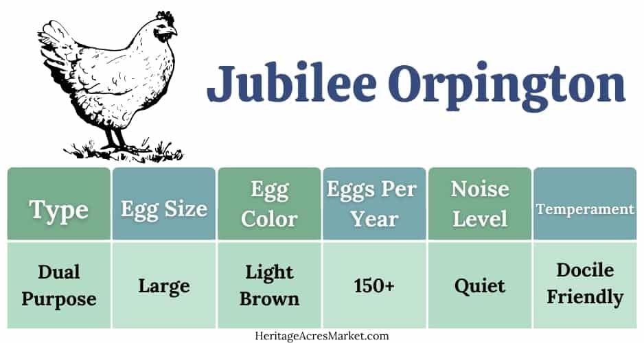 Jubilee Orpington Chickens: A Royal Breed For Your Flock 1