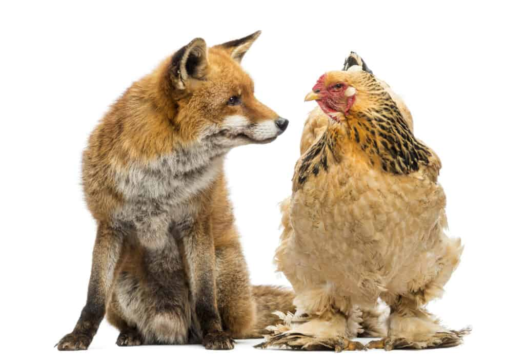 How To Prevent and Manage Common Backyard Chicken Predators 2