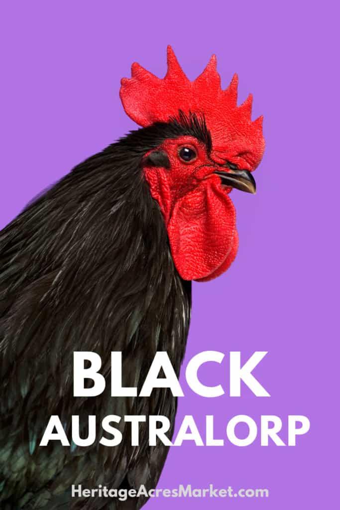 The Black Australorp: Australia's World Record Egg Layer 1