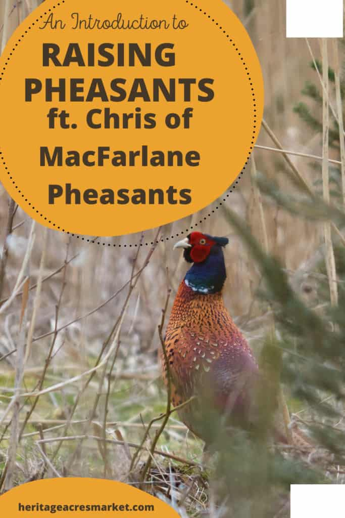 Ringed neck pheasant against scrubland background