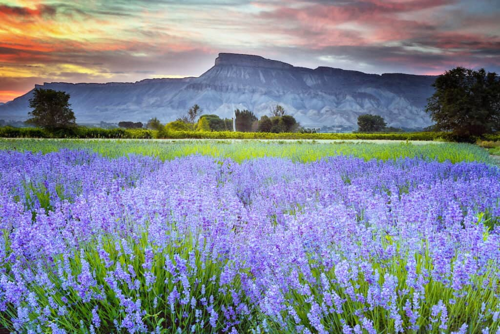 Filed of lavender with Lavender in background