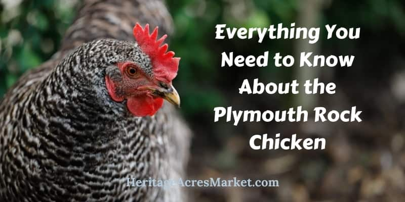 Everything You Need to Know About the Plymouth Rock Chicken and More 1