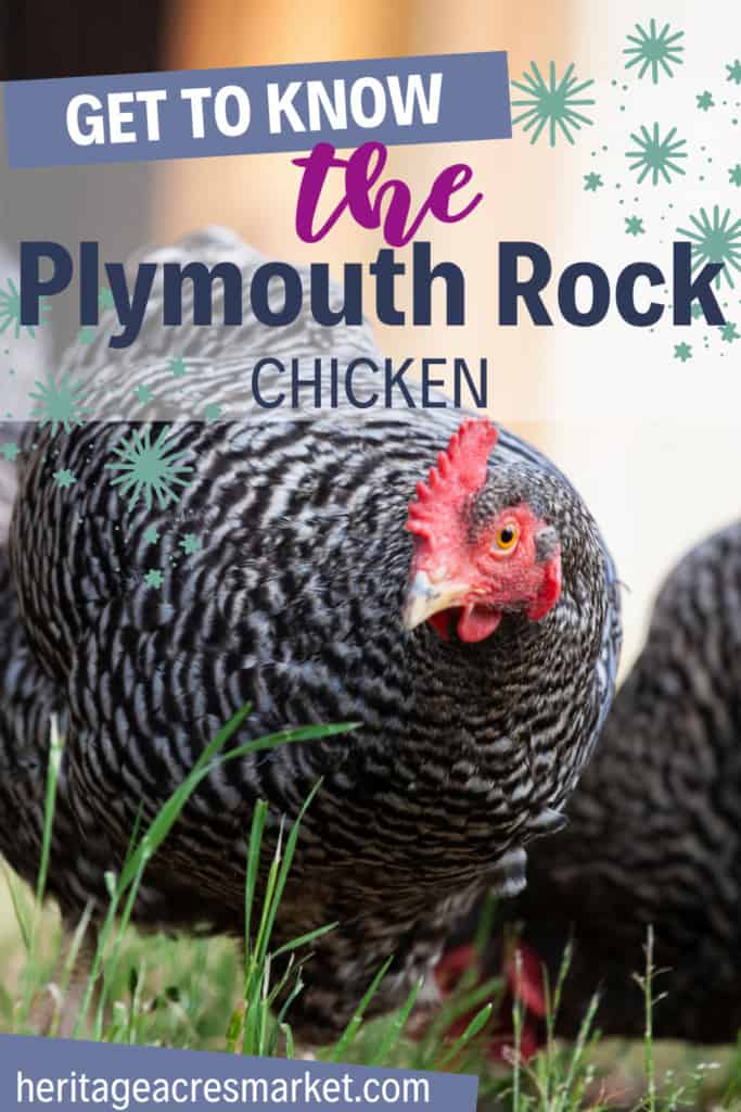 Everything You Need to Know About the Plymouth Rock Chicken and More 2