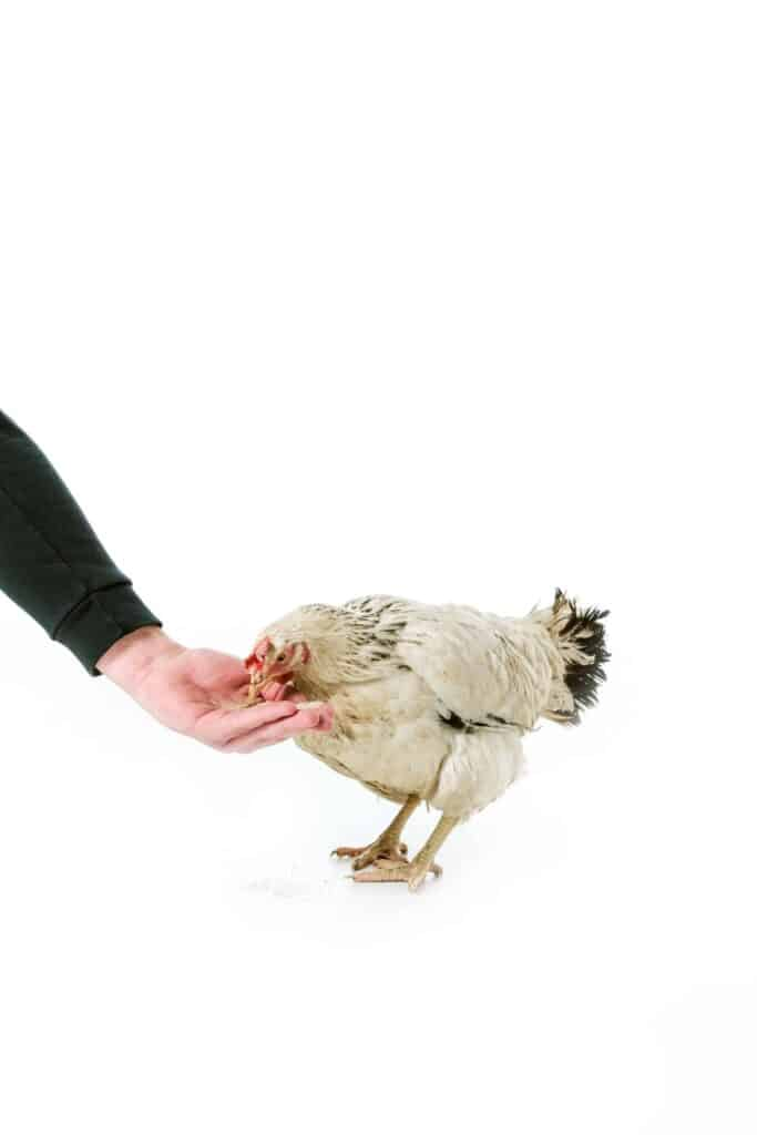 chicken eating from hand