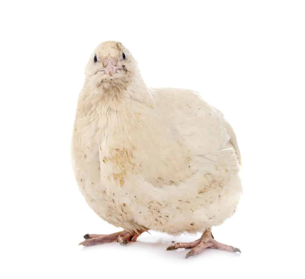 Coturnix Quail: A Real Alternative to Raising Chickens 1