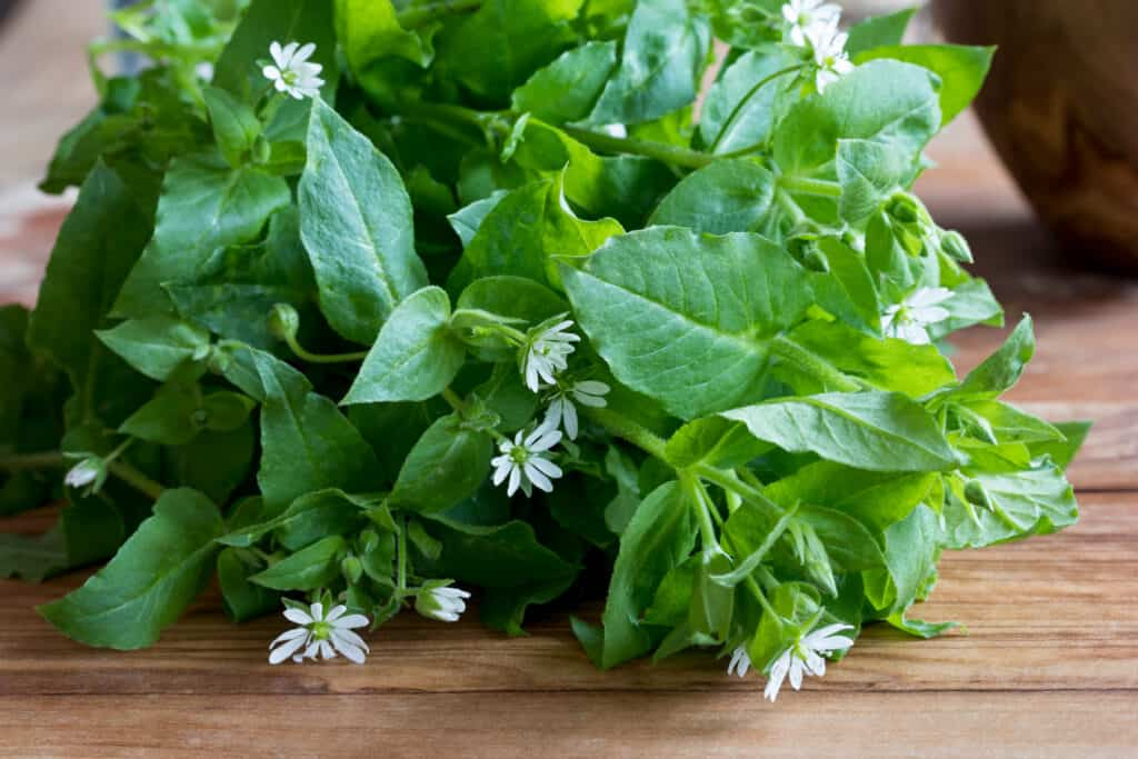 Chickweed for Chickens: A Nutrient Powerhouse For All Ages 2