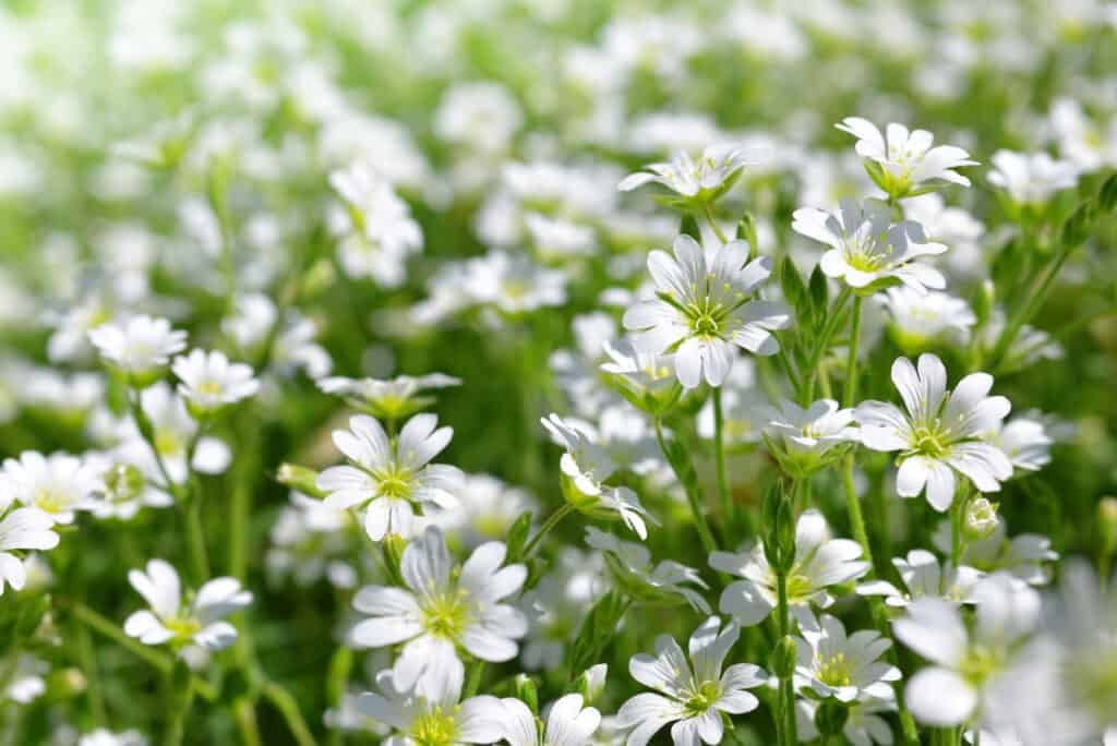 White flowers Chickweed or Cerastium arvense on meadow.