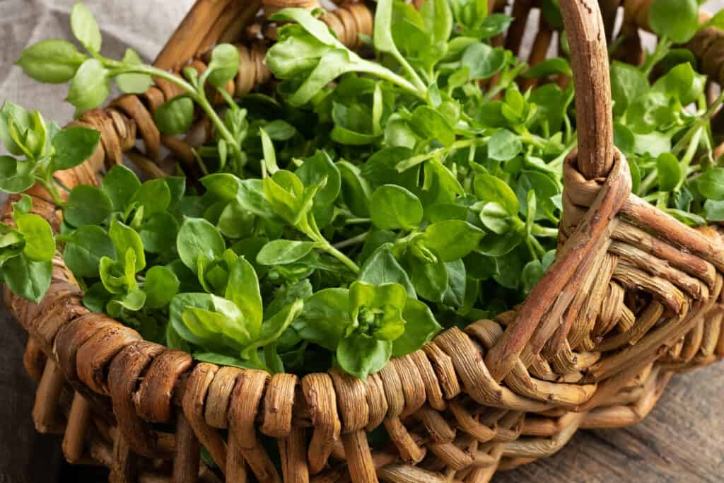 Chickweed for Chickens: A Nutrient Powerhouse For All Ages 3