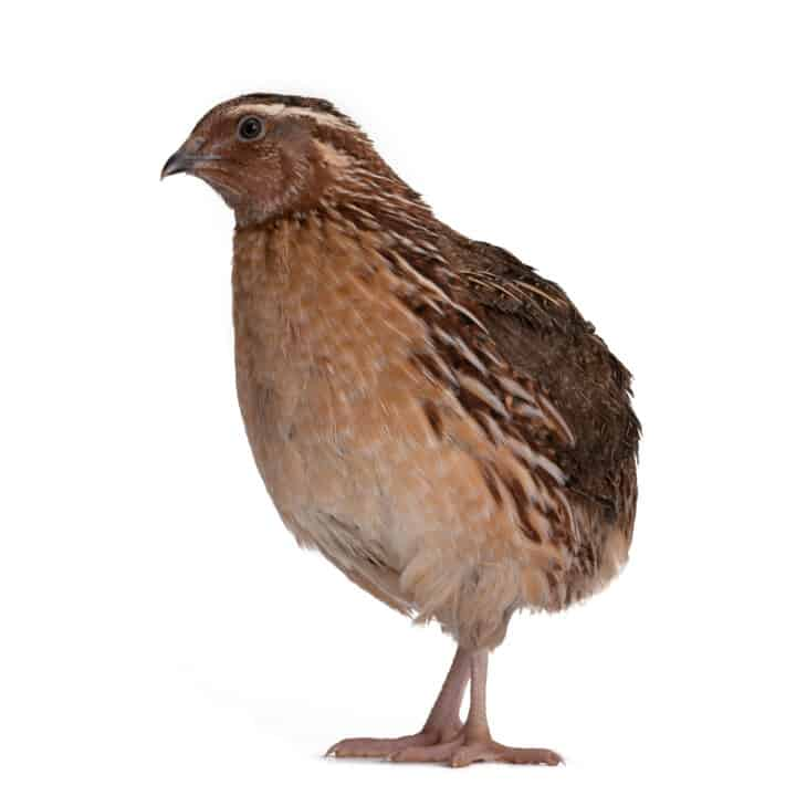 Coturnix Quail: A Real Alternative to Raising Chickens
