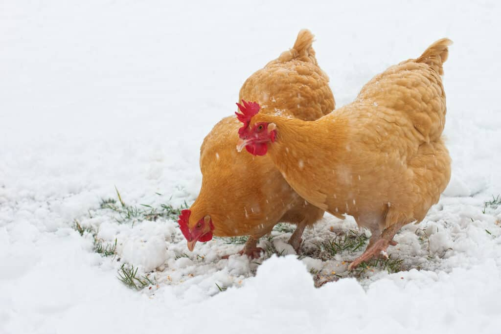 Buff Orpington Chickens: All You Need to Know About This Delightful Breed 4