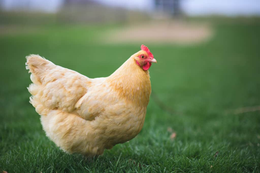 Buff Orpington Chickens: All You Need to Know About This Delightful Breed 3