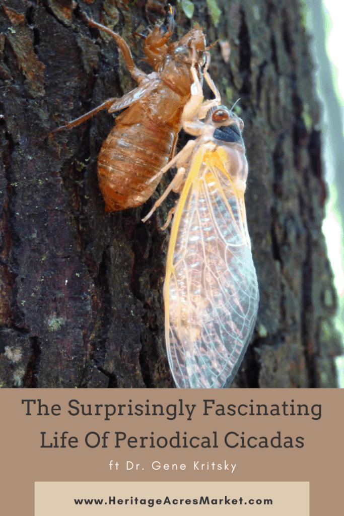 Emerging periodical cicada on tree bark