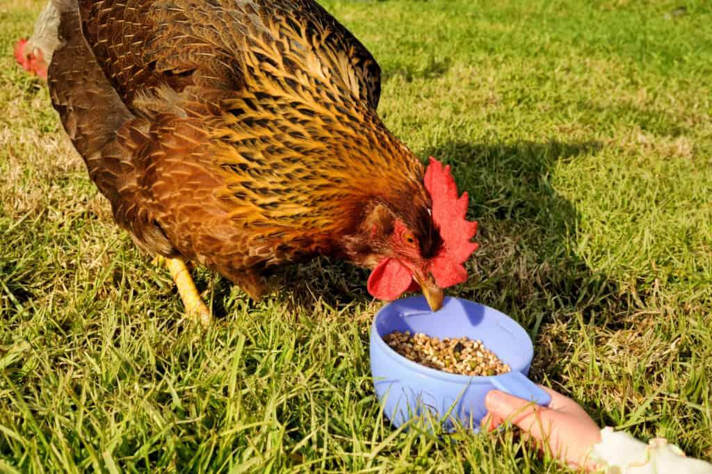 Welsummer chicken