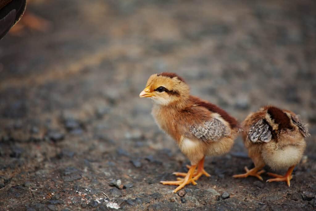 Welsummer baby chicken chick