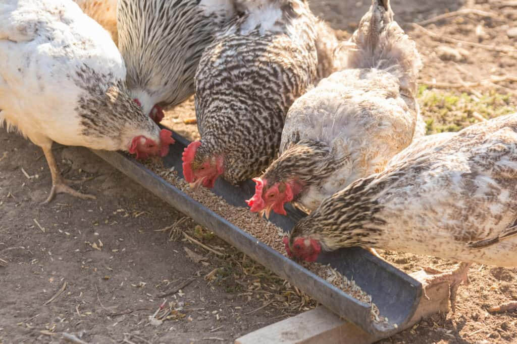 chickens eating from homemade feeder