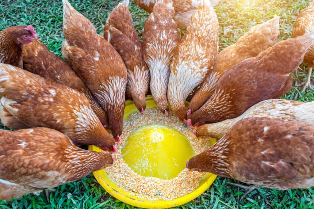 brown chickens eating from feeder